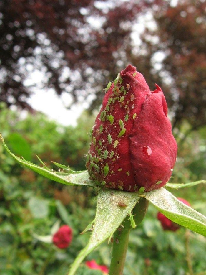 Blattläuse natürlich bekämpfen- 10 Hausmittel und frische Tipps #naturalism
