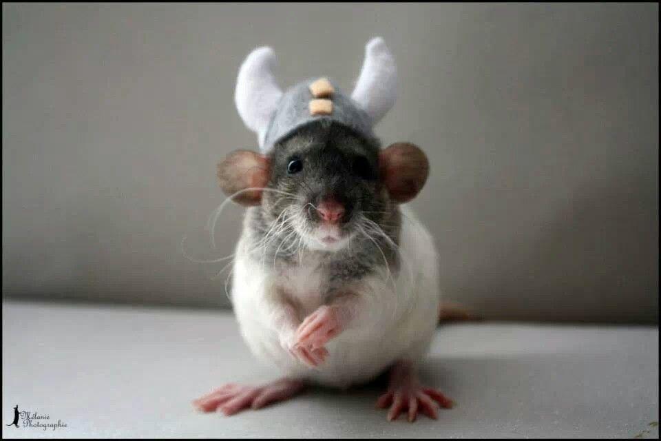 Viking Rat Pet Rats Cute Rats Baby Rats