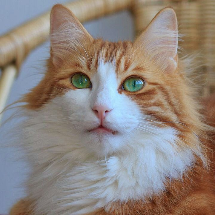 Beautiful orange & white cat green eyes Cat Portraits