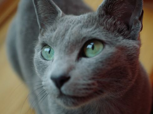Gray Cat Green Eyes Grey Cats Cat With Blue Eyes Chartreux Cat