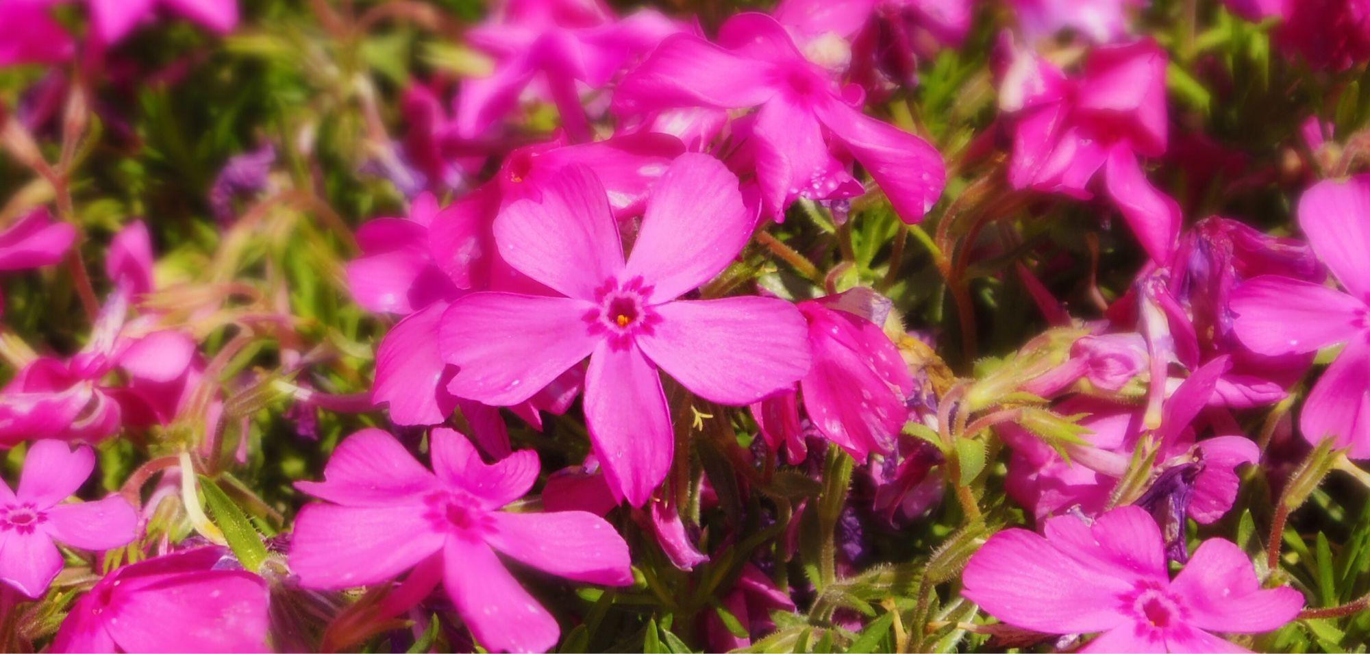 〔路傍の春〕ハナツメグサ Moss pink