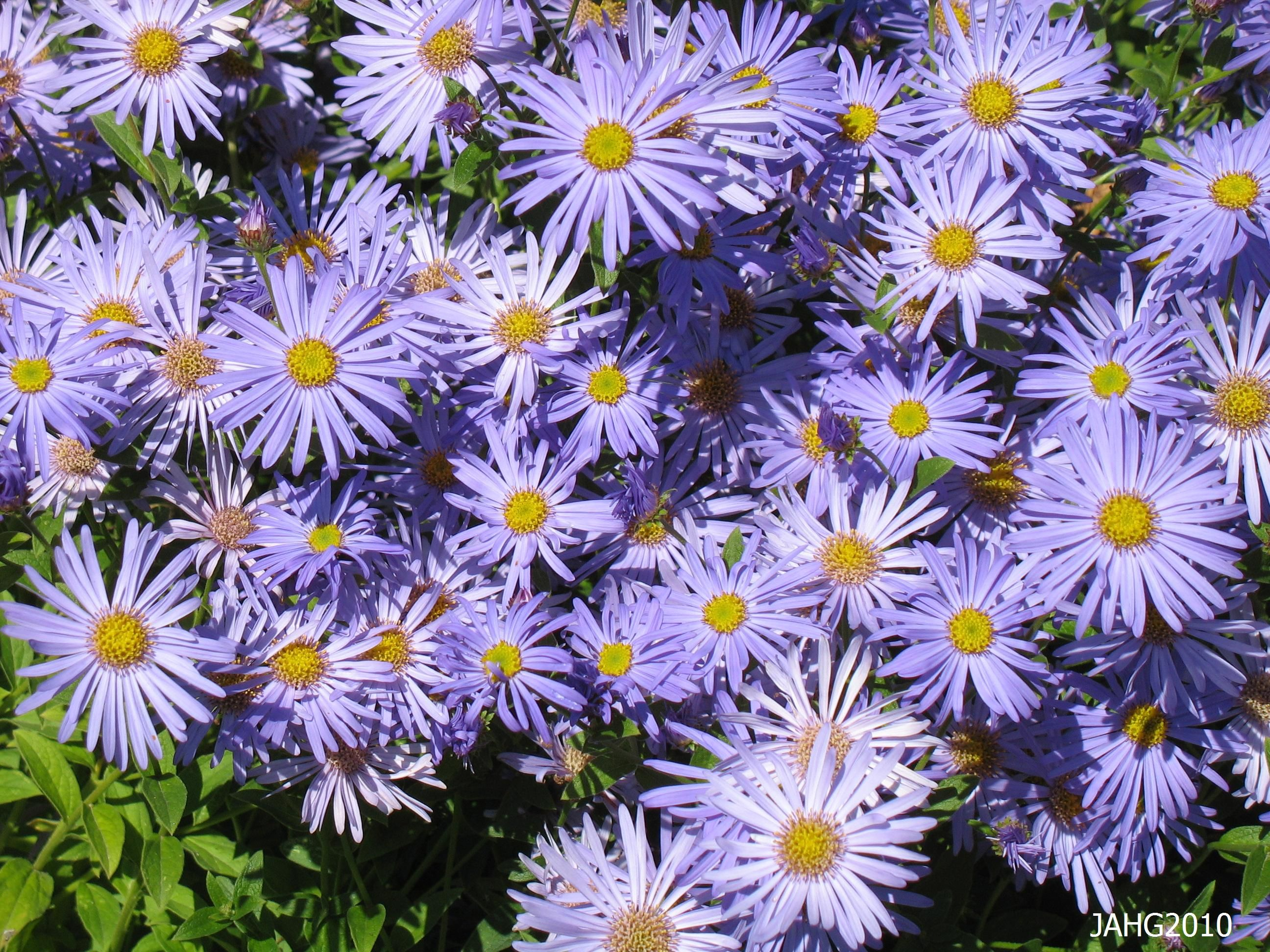 Posts About Aster X Frikartii Monch On Name That Plant Plants Home Garden Plants Best Perennials