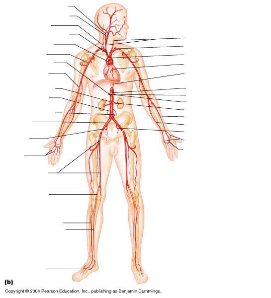 Blank Vascular Diagram - House Wiring Diagram Symbols •