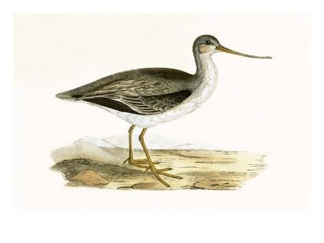 Giclee Print: Terek Godwit, from 'A History of the Birds of Europe Not Observed in the British Isles' by English : 24x18in #britishisles