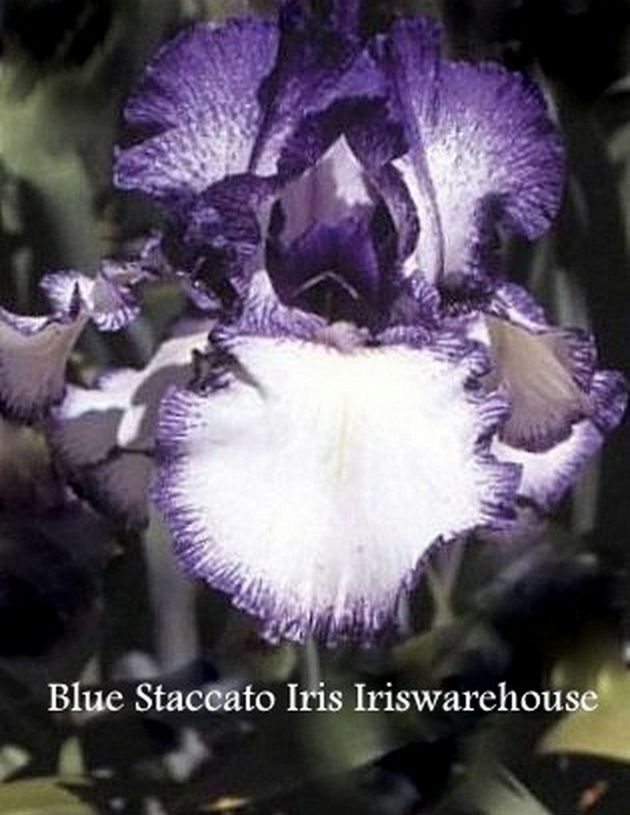 Buy blue staccato iris from iriswarehouse irises pinterest buy blue staccato iris from iriswarehouse izmirmasajfo