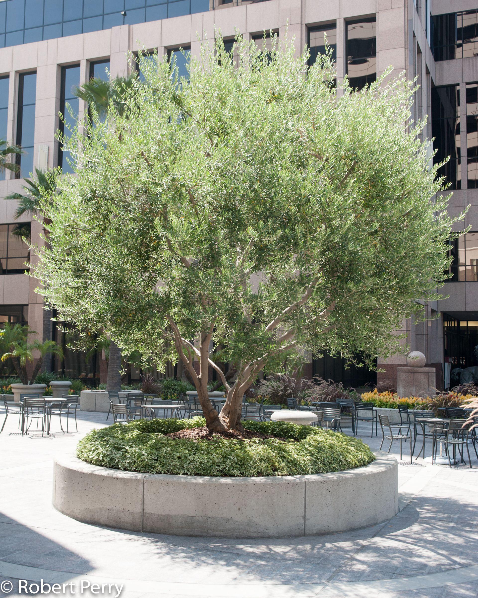 Mediterranean Olive Cvs In 2020 Garden Planner Mediterranean