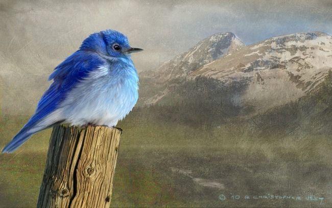 early spring chill / mountain bluebird