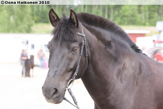 Estonian Native gelding Ramses