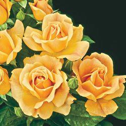 Michigan Bulb Company Easy Going Rose Weeks Roses Floribunda Roses Flowers