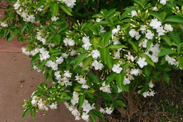 Normally Known As Moonbeam Chandani In Urdu And Crape Jasmine Tabemaemontanus Coronaria Is An Excellent Ever Flowering Bushes Lawn And Garden Jasmine Plant
