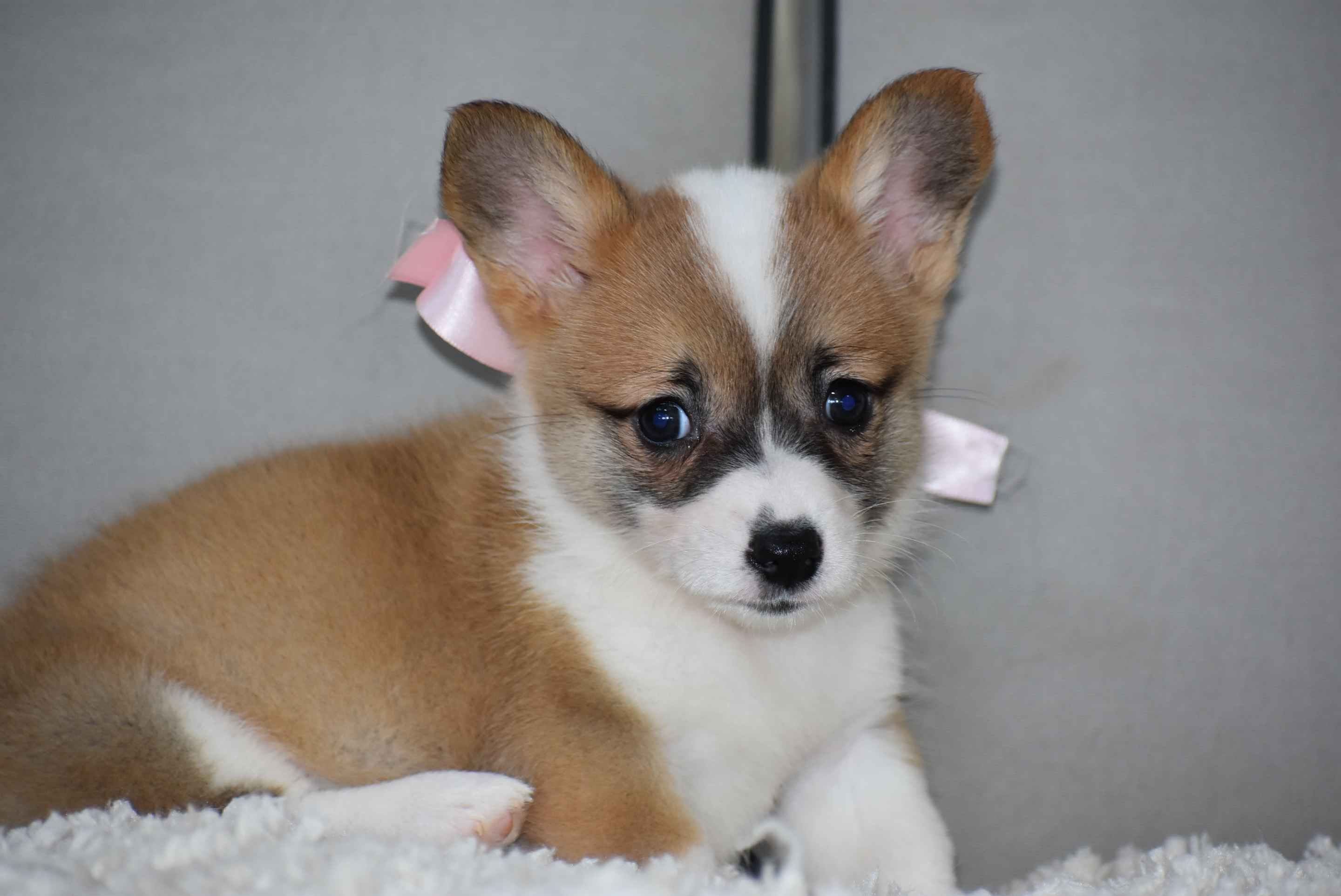 Five Star Canine Has Pembroke Welsh Corgi Puppies For Sale In