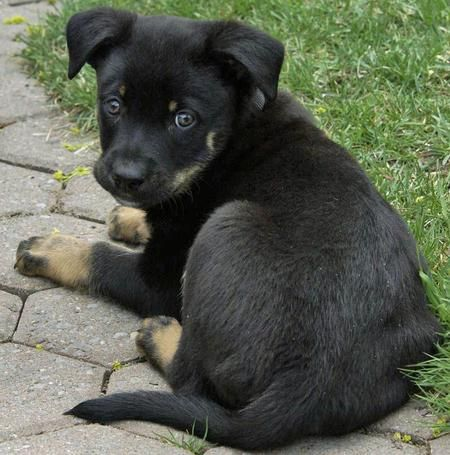 Rottweiler German Shepherd Mix Omfg Im Seriously Gonna End Up