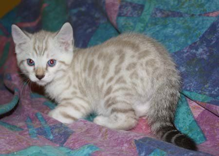 Blue Eyes On Snow Leopqard Spotted Bengal Kittens For Sale In Fl