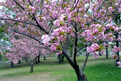 What Kind Of Tree Reflects Your Inner Self The Cherry Bossom Tree You Are Cheerfull Optimistic And Flowering Cherry Tree Blossom Trees Cherry Blossom Tree