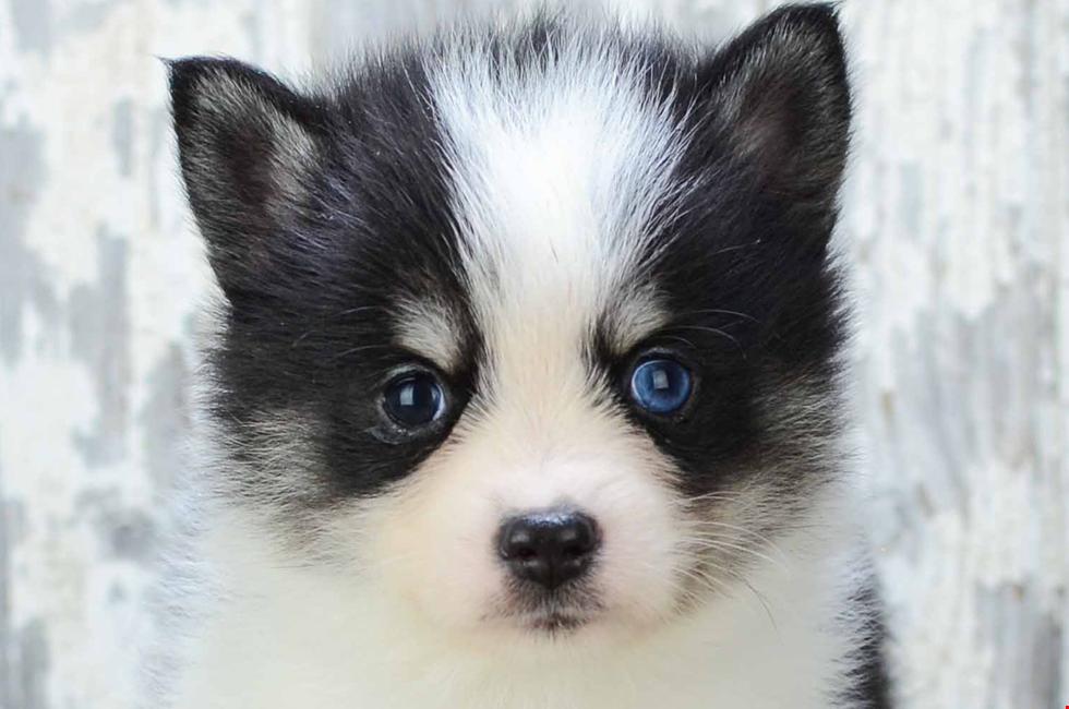 Pomsky Welpen Zu Verkaufen Online Pomeranian Husky Pups Gunstige