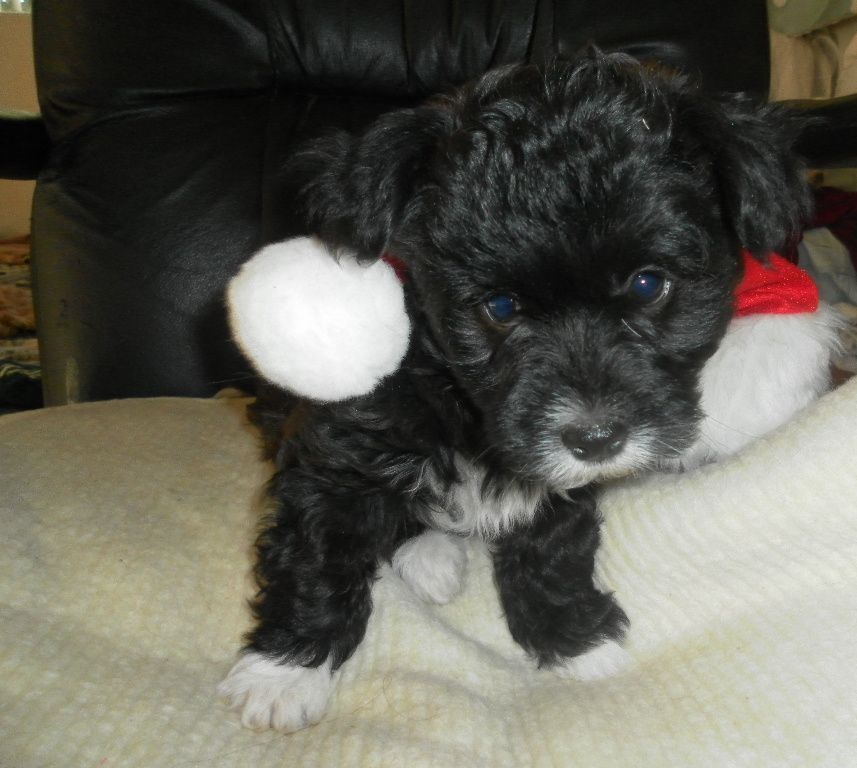 Some Havanese Puppies Are Black With White Paws Some More White Havanese Puppies Havanese Dogs Puppies