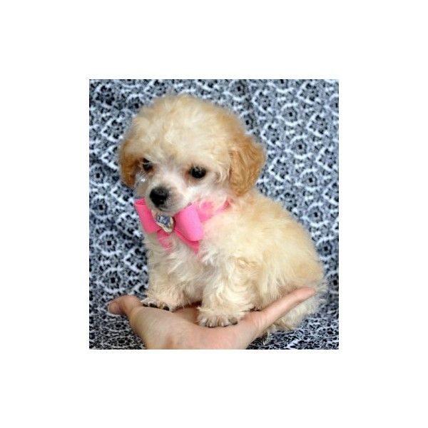 Teacup And Tiny Toy Poodle Puppies For Sale Found On Polyvore
