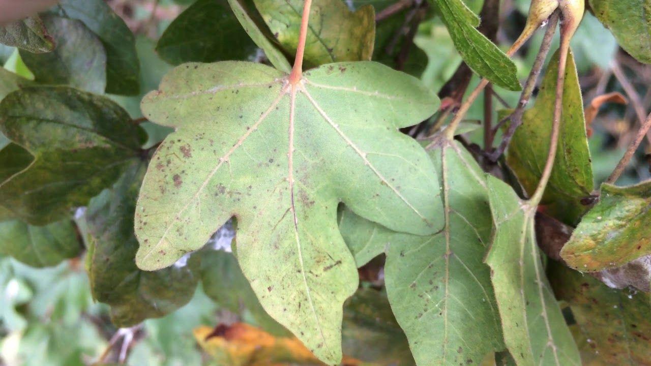 Acer Campestre Leaf