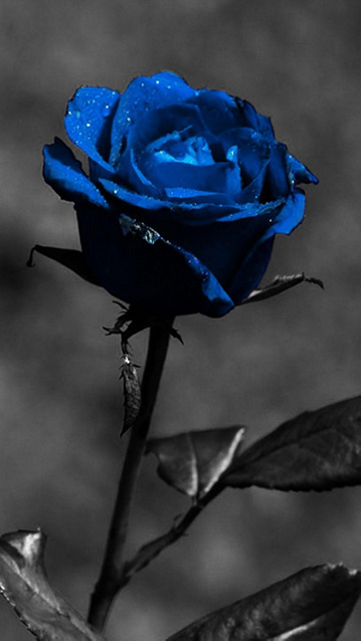 iphone xs wallpaper 4k خلفيات ايفون xs Blue roses