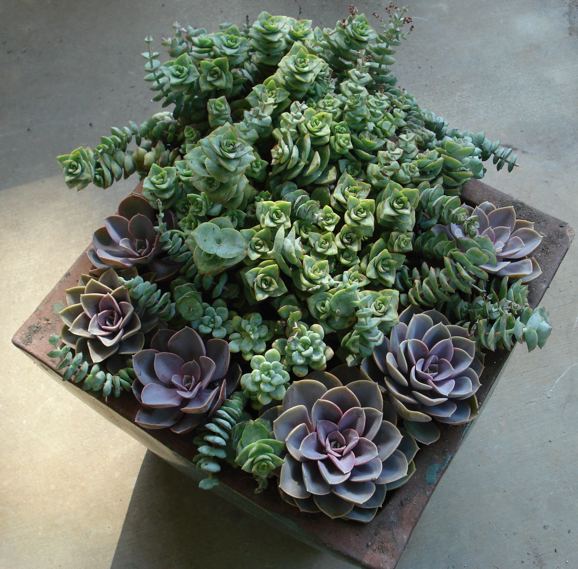Plantas de interior y otras crasas o suculentas for Plantas crasas interior