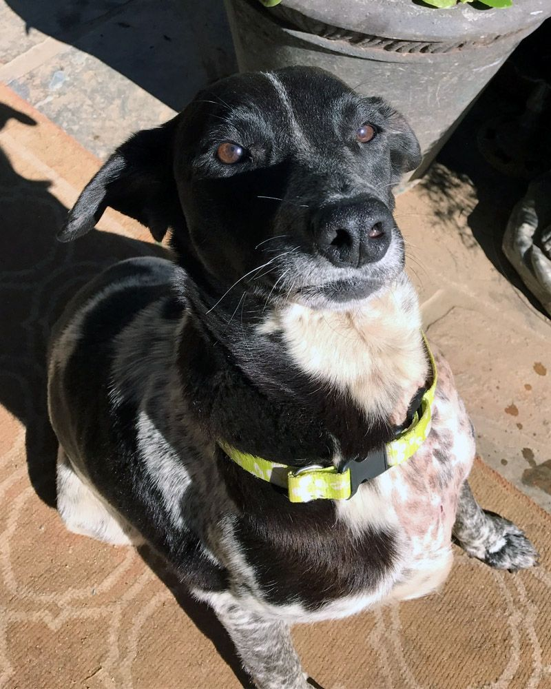 German Shorthaired Lab dog for Adoption in San Diego, CA