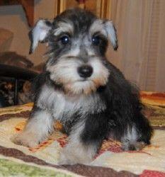 Adopt Giselle On Petfinder Schnauzer Dogs Dogs Schnauzer