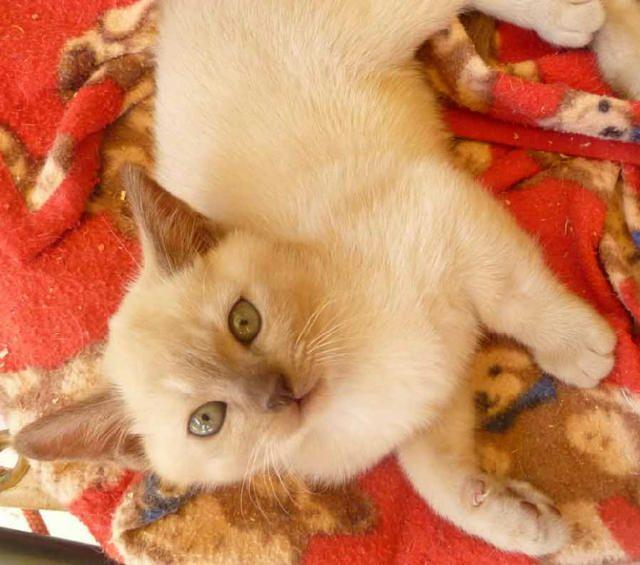 For Sale Burmese Kittens Bred By Oramor Burmese Kittens Kitten Breeds Kittens