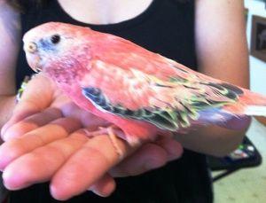 Adopt Pink On Colorful Parrots Parakeet Pet Birds