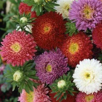 China Aster Seeds Powder Puff Mix Flower Seeds Aster Flower Seeds