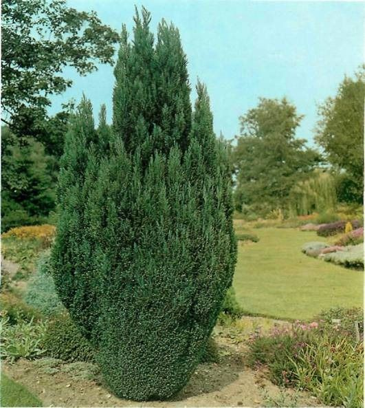 Image result for chamaecyparis lawsoniana ellwoodii for Garden law trees
