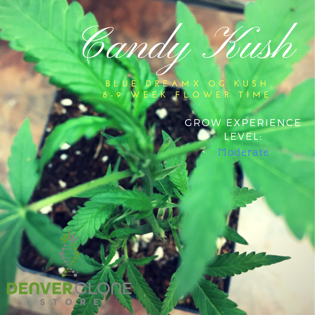 Introducing Denver Clone Stores Spotlightstrain We Will Be