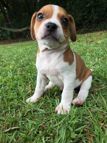 Litter Of 6 Frengle Puppies For Sale In Huger Sc Adn 43222 On