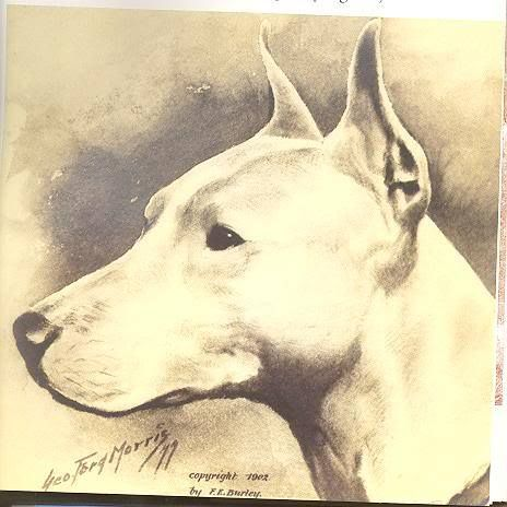 BULL TERRIER HEAD BY GEORGE FORD MORRIS~1902