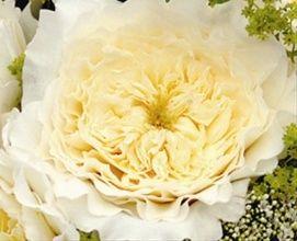 White Patience Garden Rose patience - garden rose - roses - flowerscategory | sierra