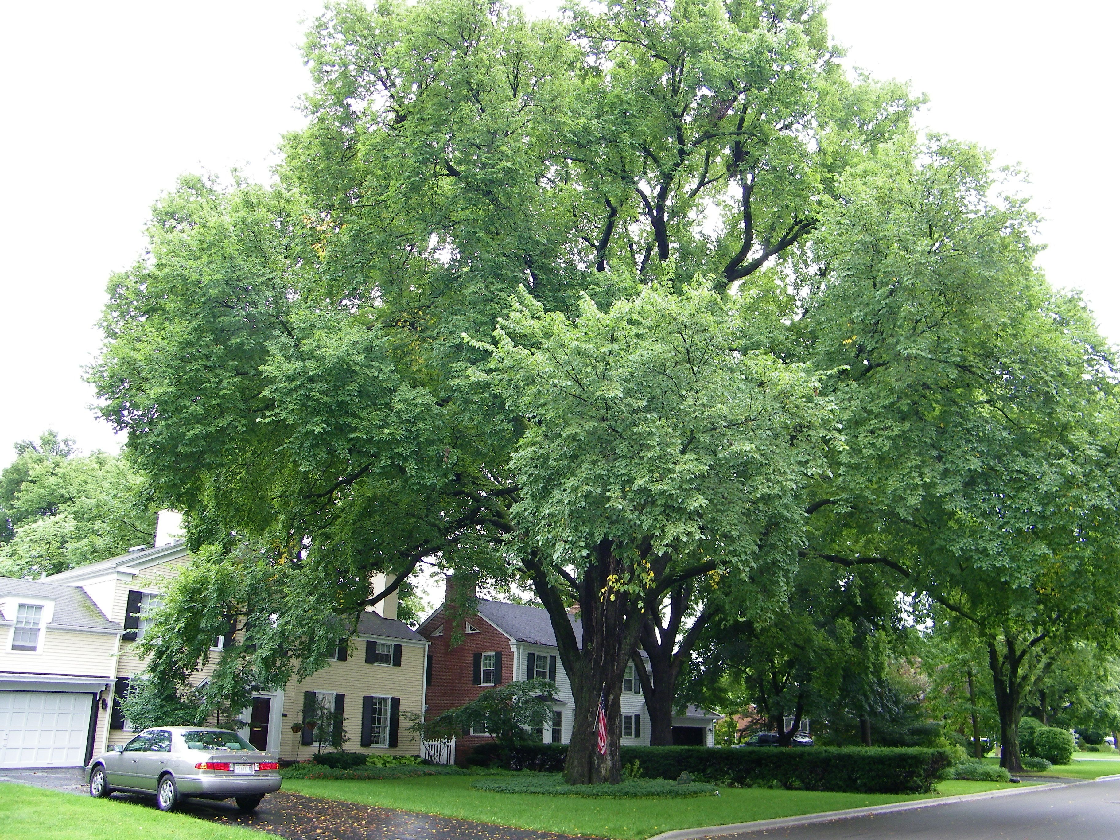 This Graceful Tree Was Common In Parks And Along Road And