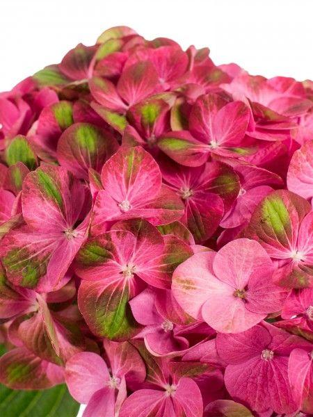 hortensie der sorte greenfire in pink gr n als schnittblume saison im mai juni juli. Black Bedroom Furniture Sets. Home Design Ideas