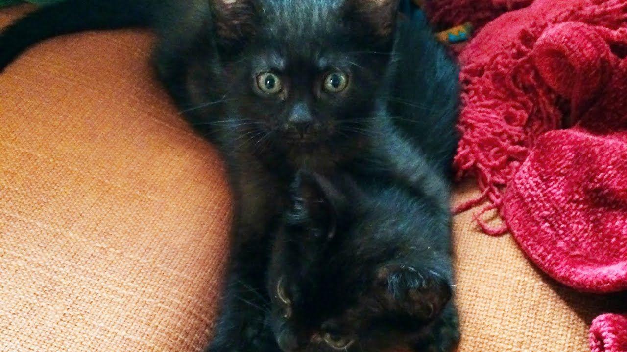 One Eyed Tabby Kitten Playing New Nervous Foster Kittens