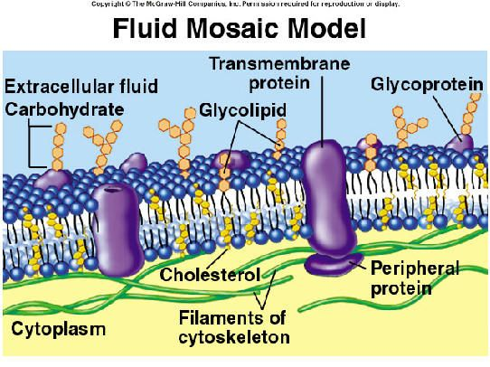 diagram of fluid mosaic model cell membrane starfish dissection feels like i could recite this lol