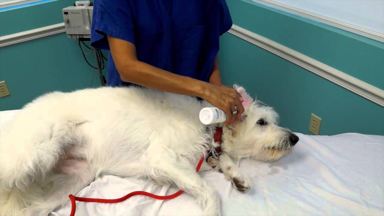 Cleaning your dogs infected ears dog ear cleaner dogs