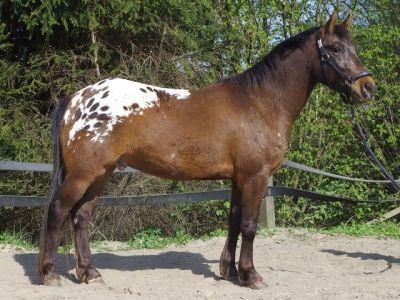 Appaloosa stallion/gelding (?) Pepper Appaloosa
