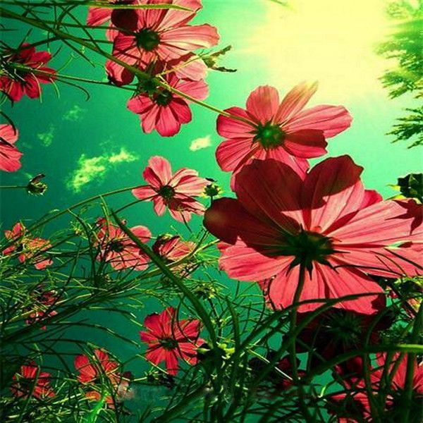 Red Cosmos Bipinnatus Seeds Beautiful Flowers Pretty Flowers Art