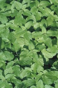 How to Kill Mint & Keep it from Overtaking Your Garden