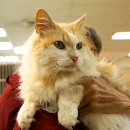 6 Years Old Dlh Orange White Male Benjamin Is A Truly Stunning Gentleman He Has The Most Soulful Eyes And Soft Silky Fur Benja Your Pet Lucky Dogs Pets
