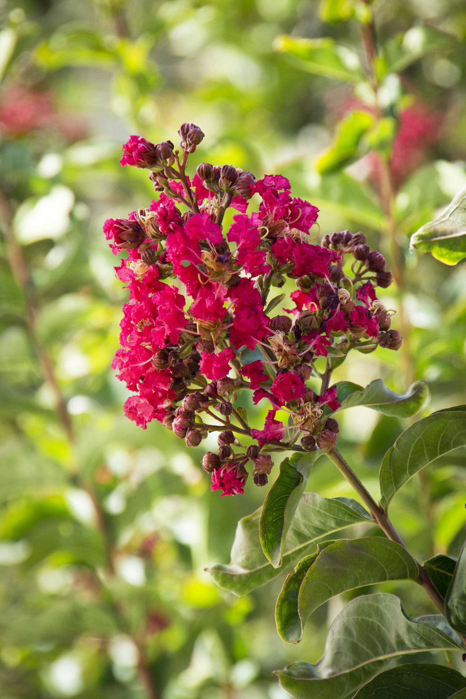 Arapaho Crape Myrtle has an explosion of red flowers from July to ...