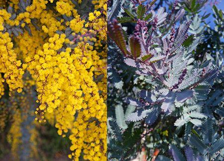 Acacia Baileyana Purpurea Fragrant Flowers Dream Garden Acacia Baileyana