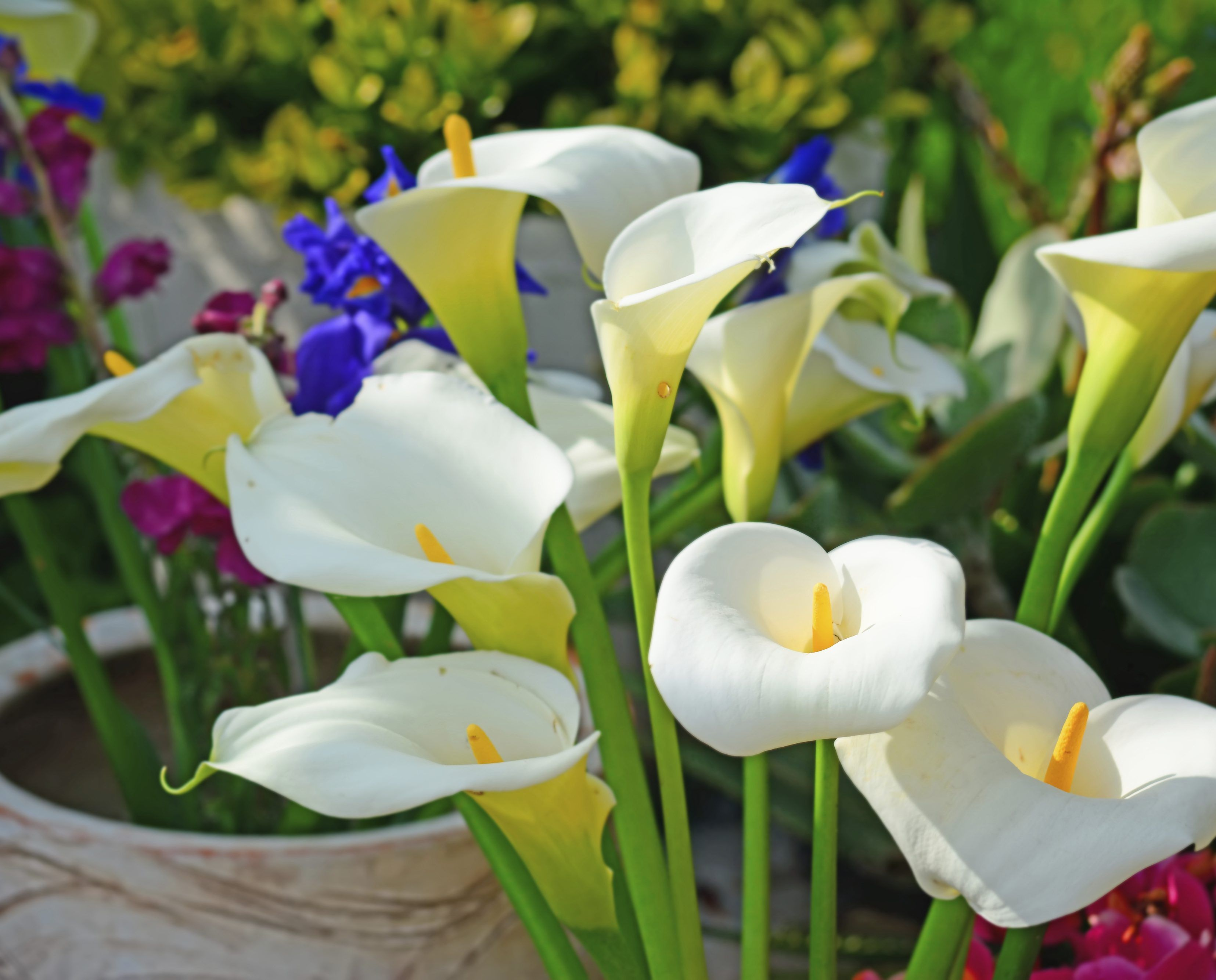 How to plant calla lilly bulbs zantedeschia aethiopica calla how to plant calla lilly bulbs calla lilies zantedeschia aethiopica originally hail from izmirmasajfo