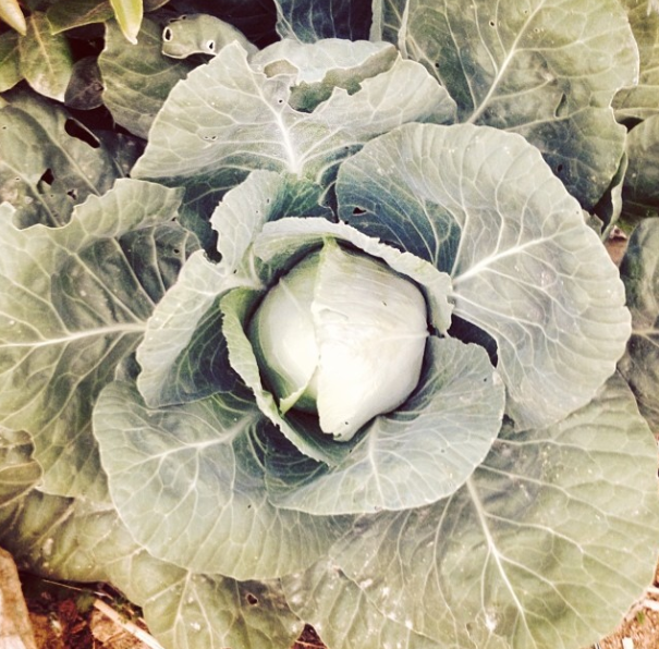 Cabbage #cabbage #permaculture #portugal #growyourown #organic #organicgardening  http://instagram.com/a_quinta