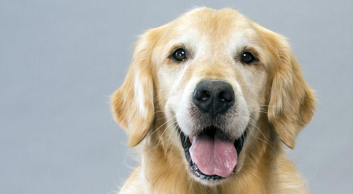 Golden Retriever Dog Breed Information Dog Breeds Dogs Golden