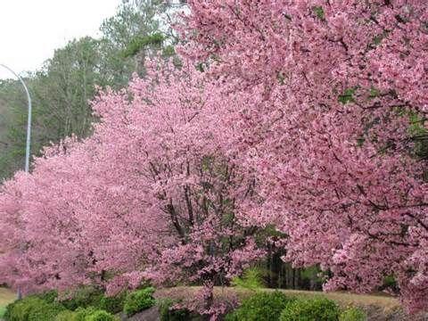 Spring In Cary Nc Landscape North Carolina Cherry Tree
