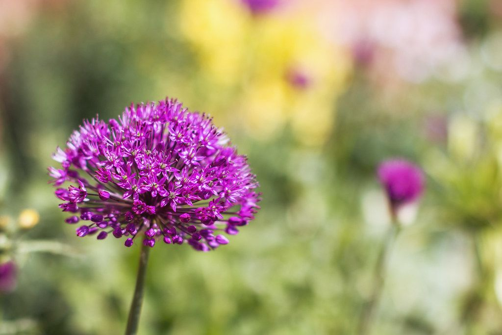 Colourful Alliums In 2020 Garlic Flower Bright Purple Garden Borders